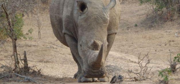 White Rhino viewing at Kruger National Park