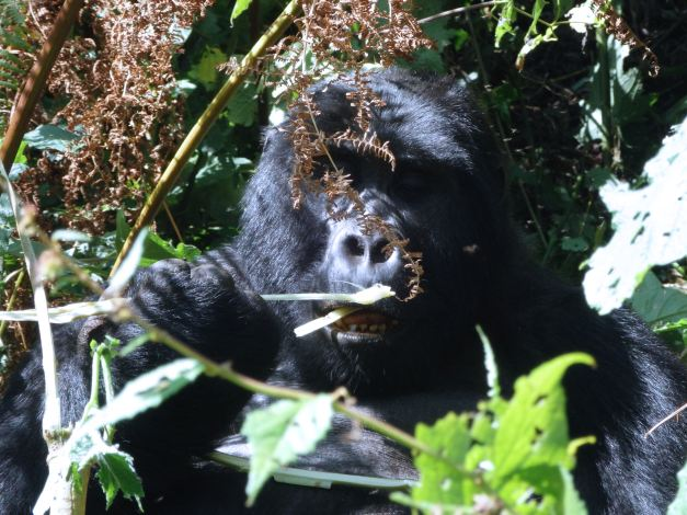 Of all wildlife sightseeing that which Uganda is perhaps most known for is its Gorilla Trekking