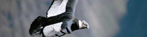 The Andean Condor is amongst the largest birds in the world
