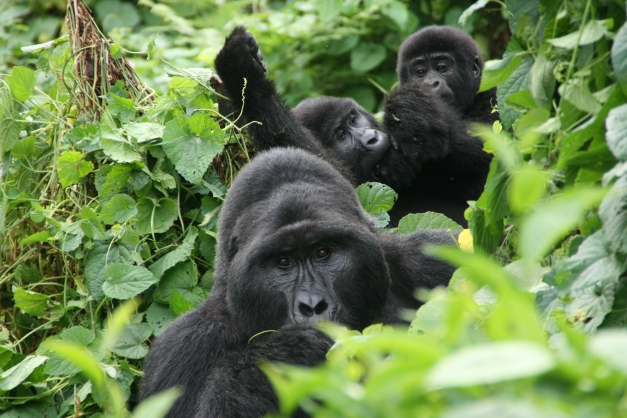 When tracking Gorillas in Uganda (or Rwanda for that matter) you are not guaranteed a sighting, but if you manage to get some face time in with these unique primates it will be something you remember for life