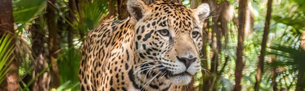The Cockscomb Jaguar Reserve , the perfect place to possibly spot this elusive feline