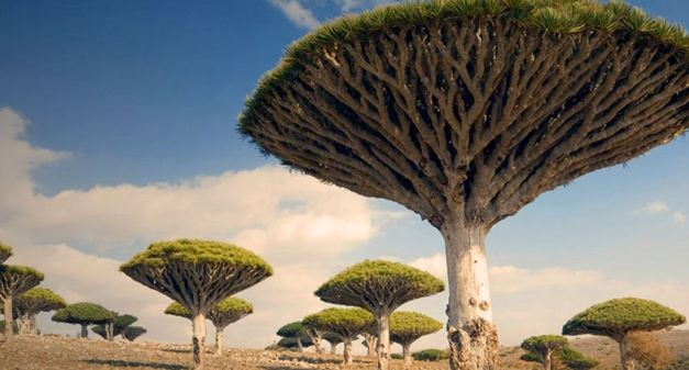 Socotra is known for its Dragon Blood Trees
