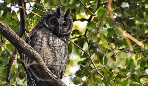 The Stygian Owl is one of the more rare bird species to be found at the Aguacaliente Wildlife Sanctuary