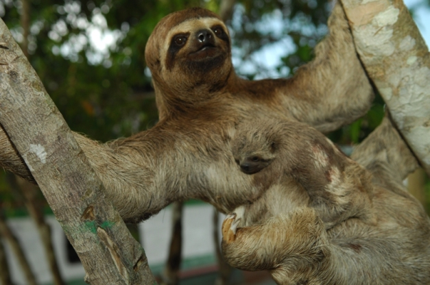 Three-Toed-Sloth-with-baby