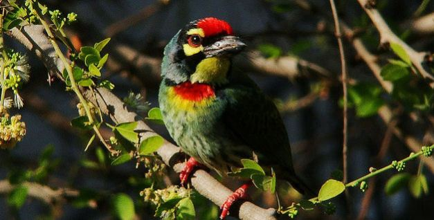There are a number of bird-species to watch out for when in Myanmar