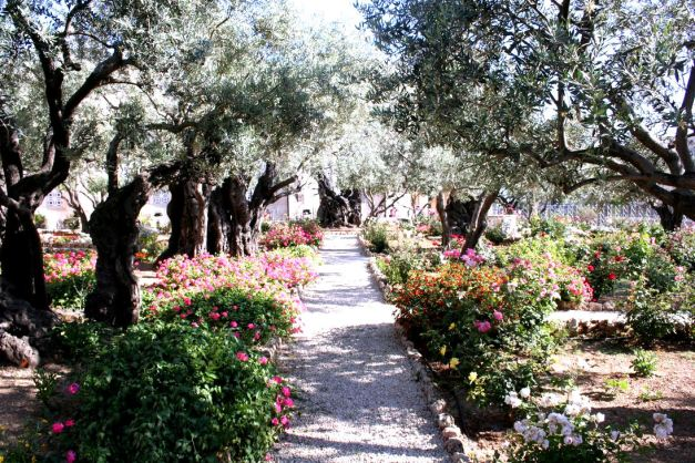 The Garden of Gethsemane where Jesus and his Disciples prayed on the night before the crucifiction according to Gospels