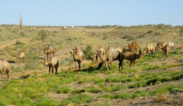 A heard of camels along the endless Kyzylkum Steppes