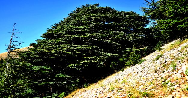 The Cedars are a national Symbol of Lebanon