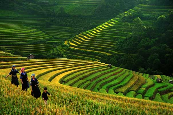 Rice Paddy fields in Sapa