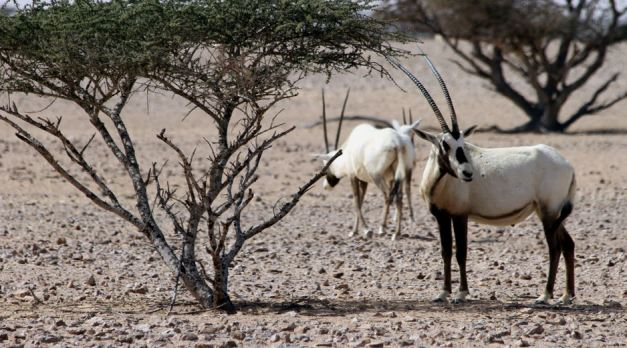 Arabian Oryx Sanctuary dedicated to the conservation of the White Oryx