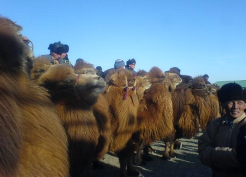 The Bactrian Camel is still a preferred way to explorethe Gobi