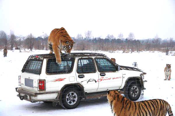 Siberian Tiger Park (20)
