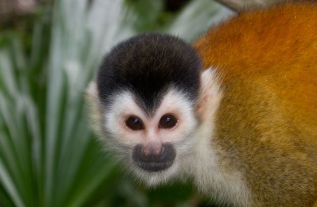 The Squirrel Monkey is but one of a few species you will have the chance to see