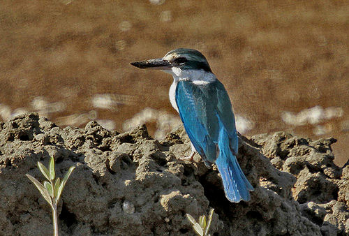 The endangered  White Collared Kingfisher can be found in nature preserves near Fujairah