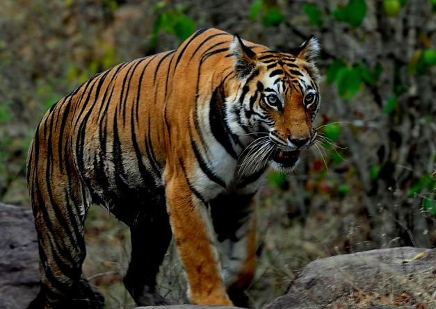 Bandhavgarh has the highest density of Bengal tigers known in the world