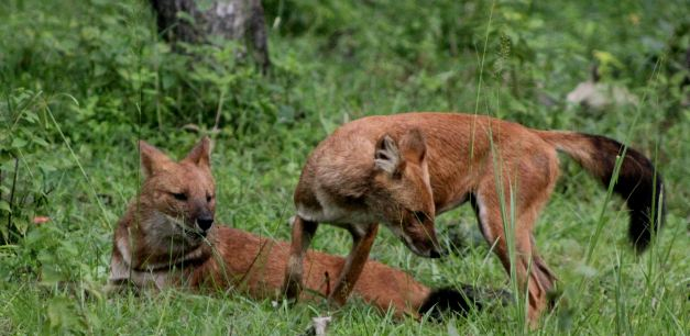 The Dhole is but one species you can see when on Safari in India