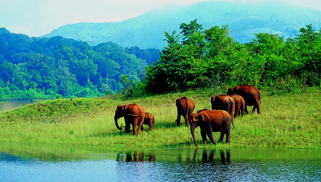 Elephants in Periyar Tiger Reserve
