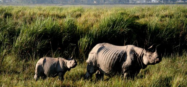 Take an Elephant back Safari in Kaziranga National Park and look for Rhino