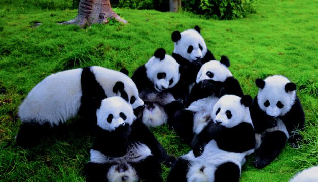 The Panda Rehabilitation Centre in Chengdu has had remarkable sucess at breeding this endangered species