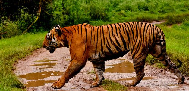 The Bengal Tiger is the most desired sight on Indian Wildlife Safari