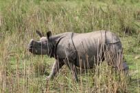 Rhino Kaziranga