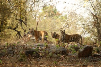 Three Tigers Bandhavgarh