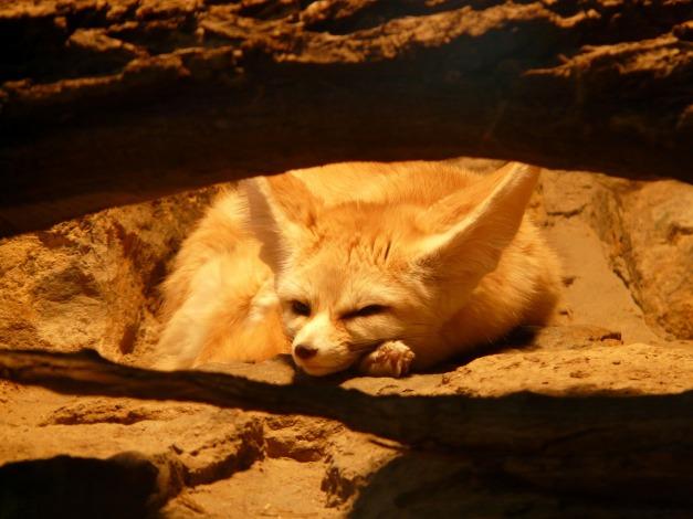 fennec-fox-77048_1920